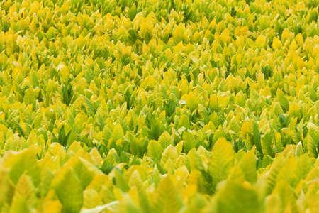 tobacco plant: Tobacco field