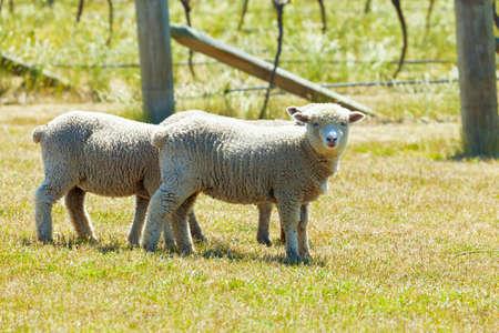 babydoll: Babydoll sheep