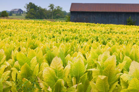 Tobacco farm photo