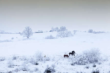 blanketed: Image of horses in a field blanketed in fresh snow
