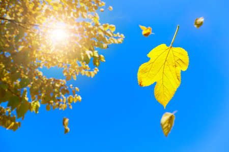 Image of yellow leaves falling off the tree with blue skies in the background Stock Photo