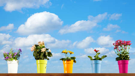perennial plant: Potted flowers