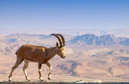 negev: Wild ibex