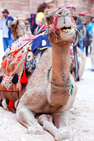Camel in Petra, Jordan photo