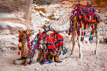 of petra: Pair of camels in Petra, Jordan