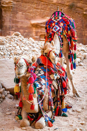 Camels in Petra, Jordan photo