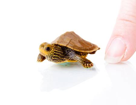 baby turtle: Baby Turtle Stock Photo