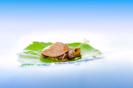 baby turtle: Baby turtle floating on a leaf