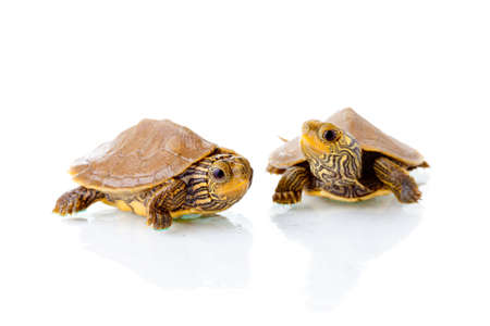 Image of two baby Common Map Turtles against white background