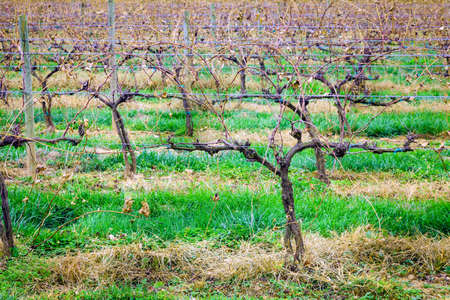 vine country: Rows of dry grape vines in a vineyard Stock Photo