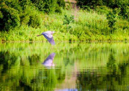 grey heron: Blue Heron in flight over lake
