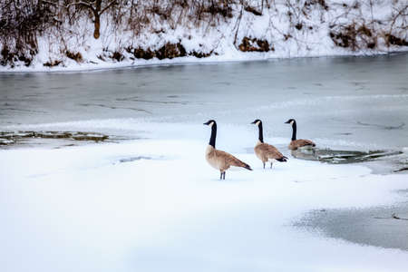 canadian geese: Canadian geese in winter