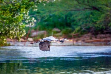 grey heron: Blue Heron in flight