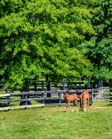 bluegrass: Foals at a horse farm