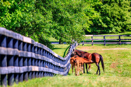 bluegrass: Horse and foal