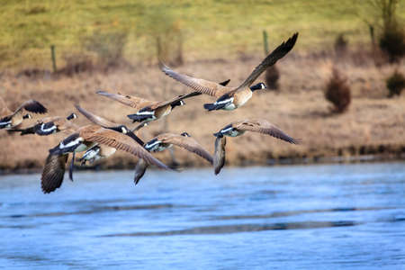 canadian geese: Canadian geese flying over a lake