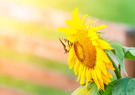 Sunflower and butterfly photo