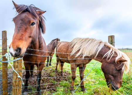 icelandic: Icelandic Ponies on a farm