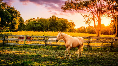 horses in field: Horse running across the pasture at sunset