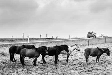 enduring: Icelandic Ponies enduring wind and rain