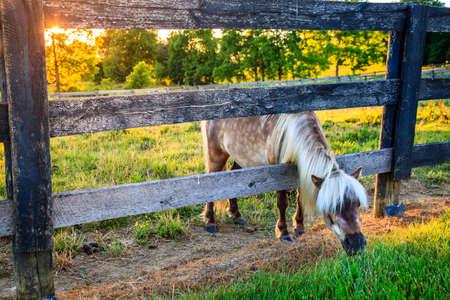 shetland pony: Shetland pony is reaching outside the fence for greener grass Stock Photo