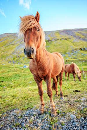 Icelandic Pony on a farm in Iceland Reklamní fotografie