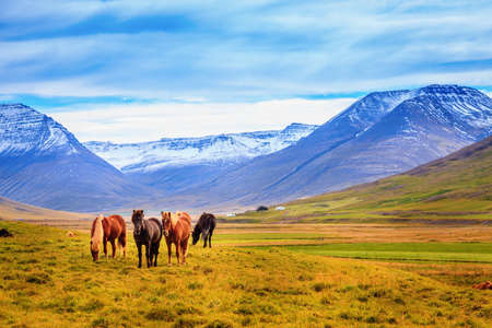 pretty pony: A group of Icelandic Ponies in the pasture with mountains in the background