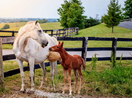 bluegrass: Mare and her colt by the fence on a farm in Central Kentucky