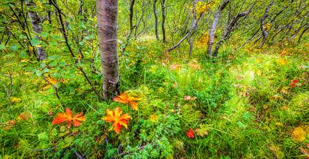 undergrowth: Forest floor in Asbyrgr, Iceland