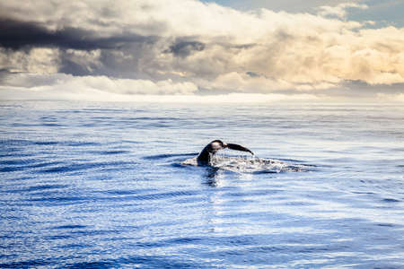 Diving humpback whale in the Skjalfandi Bay in Northern Iceland photo
