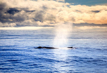 Humpback whale blowing water in the Skjalfandi Bay in Northern Iceland
