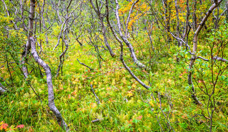 Forest in Asbyrgr, Northern Iceland Stock Photo
