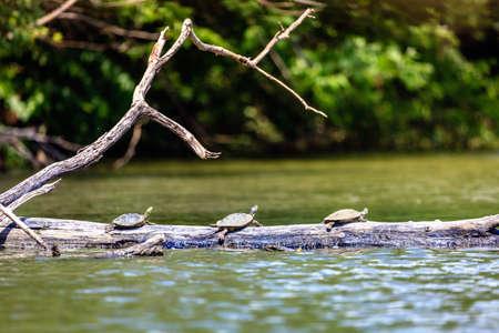 Common Map turtles photo
