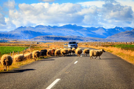 Herd of sheep is crossing Highway No. 1 (Ring Road) in Southern Iceland Stock Photo