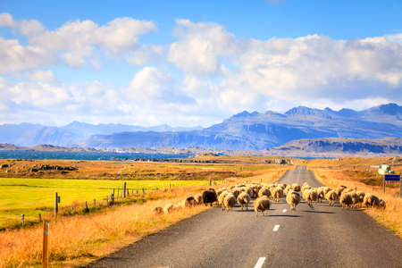 scenic highway: A herd of sheep is crossing Highway No. 1 Ring Road in Southern Iceland