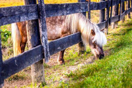shetland pony: Shetland pony is reaching outside the fence for greener grass Stock Photo