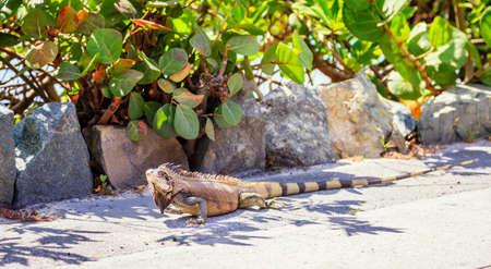 Green iguana on a sidewalk on Virgin Gorda Island in BVI