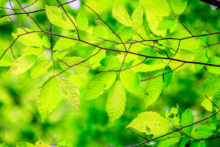 tree branch: Close-up image of bright green leaves on a tree brunch in spring