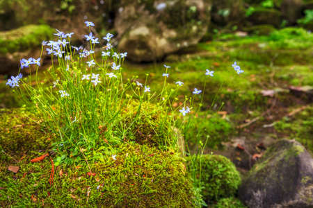 bluet: Creeping Bluet flowers and moss on a rock near Cumberland River in Southern Kentucky