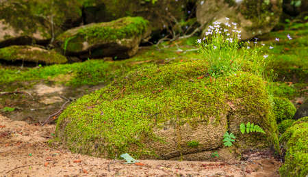 bluet: Creeping Bluet flowers and moss covering a rock near Cumberland River in Southern Kentucky Stock Photo