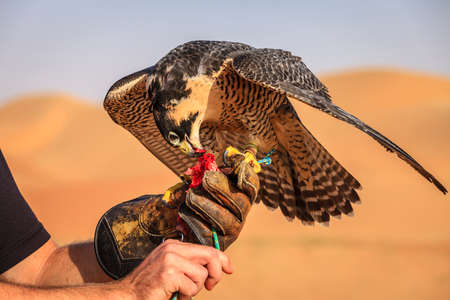 training session: Peregrine Falcon receives a treat during traditional hunting training session