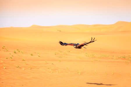 birds desert: Harris Hawk flying over dunes in Dubai Desert Conservation Reserve, UAE