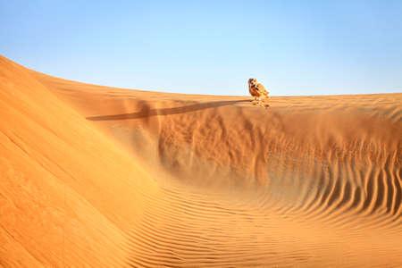 birds desert: Desert Eagle Owl sitting on a dune in Dubai Desert Conservation Reserve, UAE Stock Photo