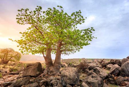 adansonia: Baobabtree growing in wadi Hinna near Salalah, Oman Stock Photo