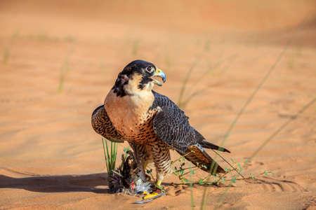 Peregrine Falcon with its prey in a desert near Dubai, UAE