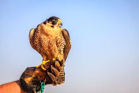 Portrait of Peregrine Falcon on a trainers glove