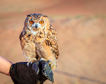 Portrait of Desert Eagle Owl on a trainers glove
