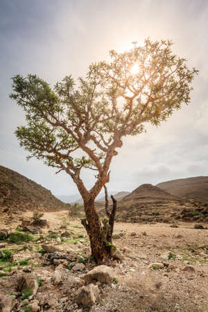 Frankincense tree growing in a desert near Salalah, Oman