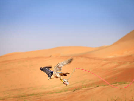 peregrine falcon: Training of Peregrine Falcon for tradtional hunting in Dubai Desert Conservation Reserve, UAE