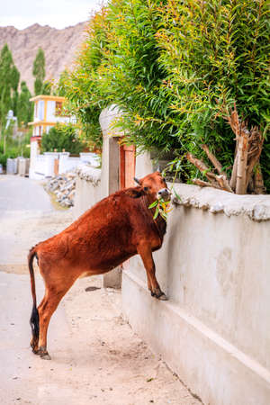 Cow is reaching for green tree branches on a street of Leh, India Stock Photo